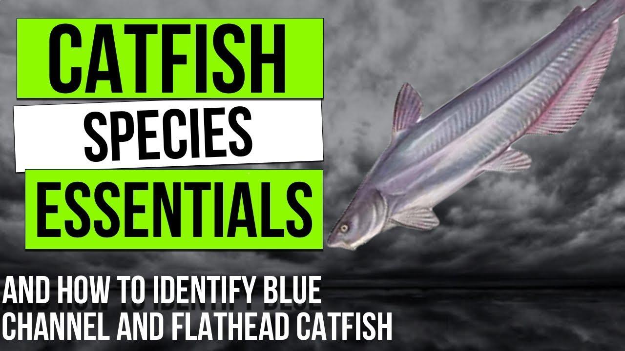 Catfish Species Essentials: The