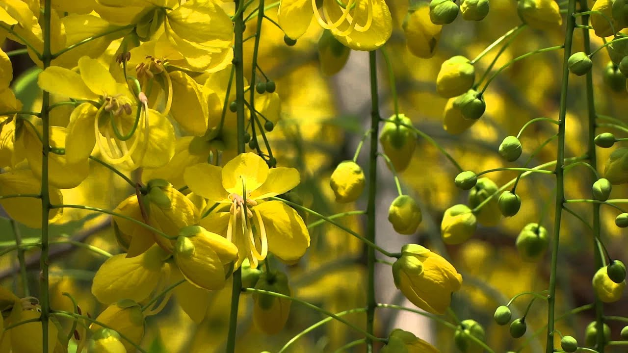 Cassia Fistula Or Golden Shower Tree Flower Youtube