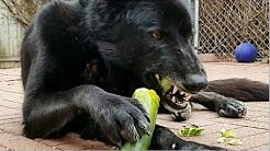 This Is What Happens When You Feed Cucumber To Dogs!!!