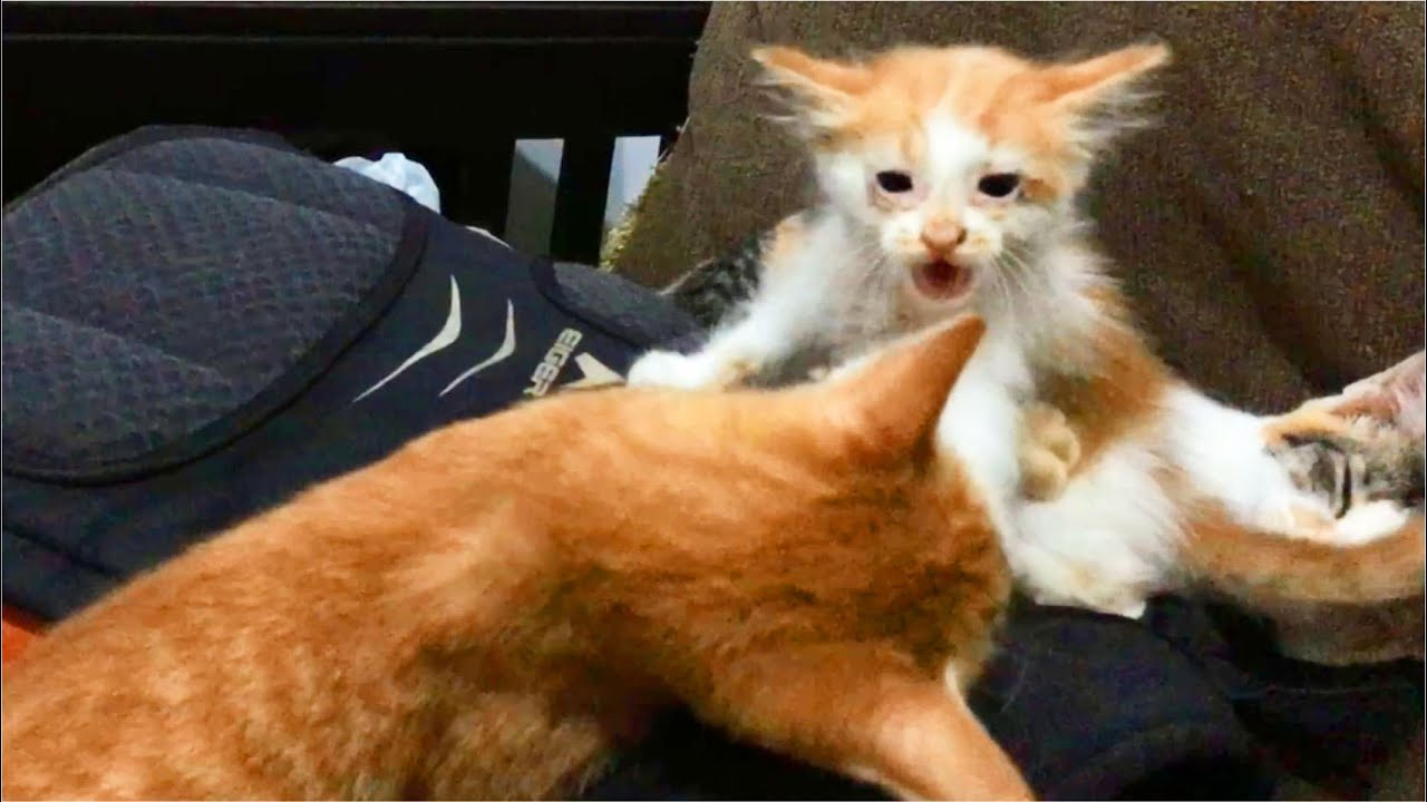 Kitten Angry & Screaming When Playing With Cat, But Cat Protect Kitten From Me - 1st Week Rescue
