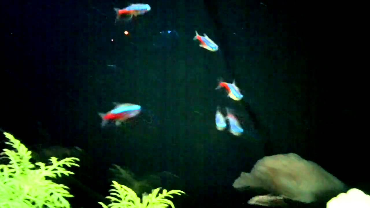 Neon Tetra S Under Dim Light Youtube
