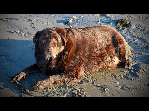 Witness Portly Pup's Dramatic Weight Loss Transformation