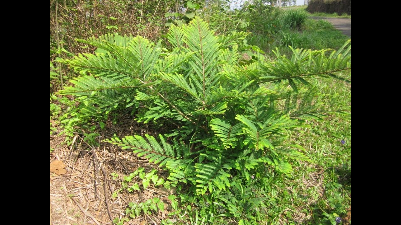 """Indian Gooseberry Plant"" - YouTube"