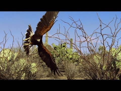 Hawks Chase Down a Rabbit | North America