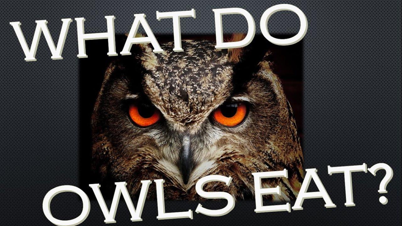What Do Owls Eat - Owls Diet - Kidz Feed