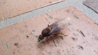 Reina de Hormiga cortadora - Atta Ants, leafcutter ants queen