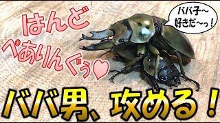 クワガタ&カブトムシ☆昆虫採集 ババオウゴンオニクワガタをハンドペア...