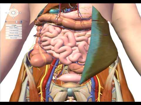 google earth for the human body - youtube, Muscles