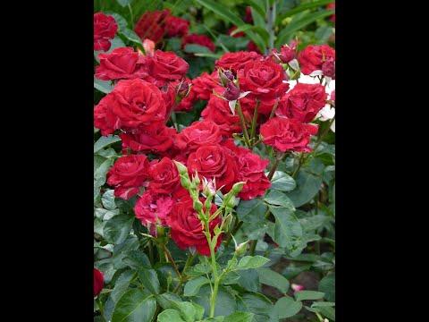 Цветение  розы Никколо Паганини).Добро пожаловать на просмотр.