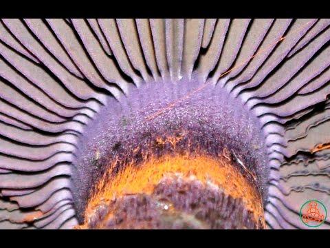 Паутинник фиолетовый - под защитой закона.