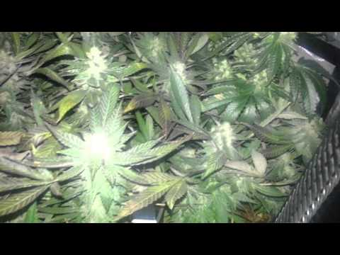 Week 5 Sea of Green 3x3 600w Cannabis grow Granddaddy purple and Platinum cookies