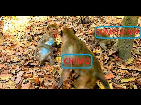 Poor Skinny man,Monkey Chimo nearly did wrong to Skinny man by listen to little monkey complaint,