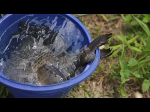 Видео Приманка для рыб