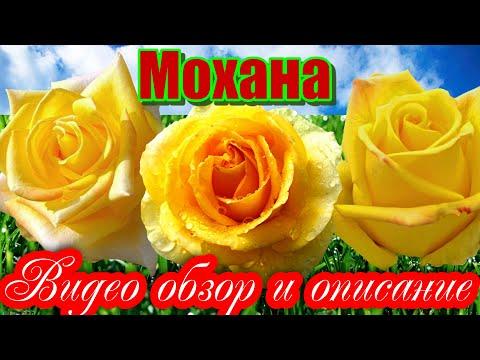 Обзор розы  Мохана (Чайно гибридная) Mohana (Evers Германия, 2006)
