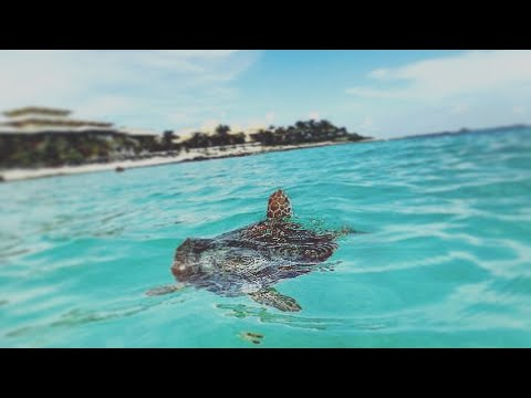 Swimming With The Sea Turtles And Tropical Fish In Mexico Barcelo Maya Palace Beach Resort Vlog