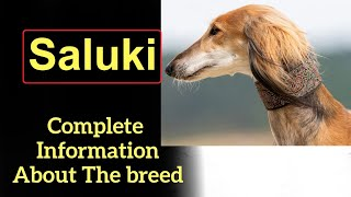 Saluki. Pros and Cons, Price, How to choose, Facts, Care, History