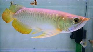 ARWANA GOLDEN RED TAIL -+28CM - BINTARO