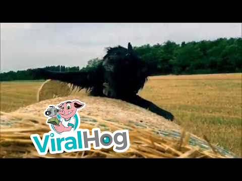 Dog Rolls in Hay Fail