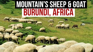 Mountain's Goats & Sheep | A Beautiful Evening View of Burundi from Mountains | Burundi Africa