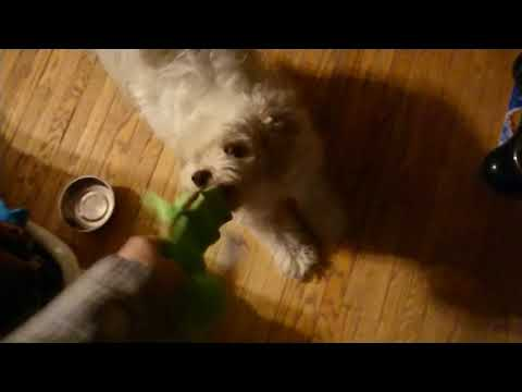 Time Waster Video: Loki, Dog of Mischief, Gets A New Toy