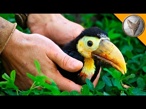 Thumbnail: Rescued Baby Toucan!