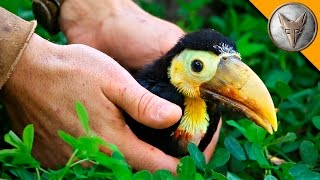 Rescued Baby Toucan! by : Brave Wilderness