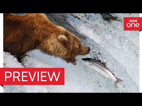 A brave grizzly mum - Autumn: Earth's Seasonal Secrets Preview - BBC One