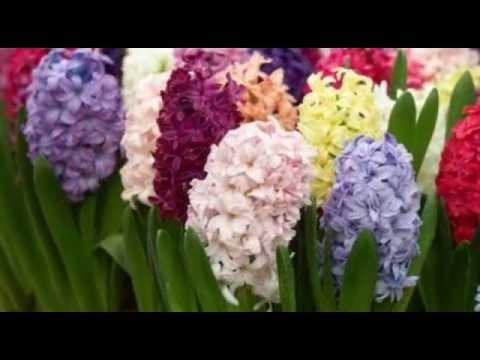 Первоцвет лекарственный первоцвет весенний баранчики примула
