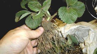 Как вырастить рассаду клубники. Как правильно сажать клубнику.