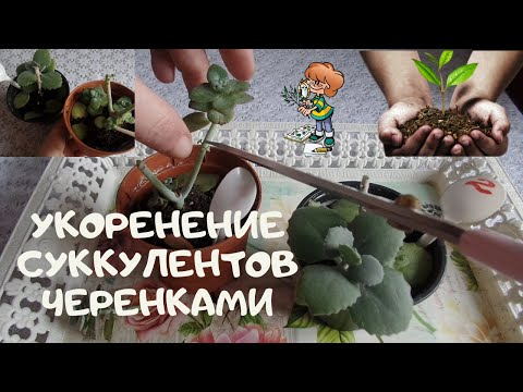 Как  правильно укоренить суккуленты ( каланхое и толстянку )черенками и листьями в домашних условиях