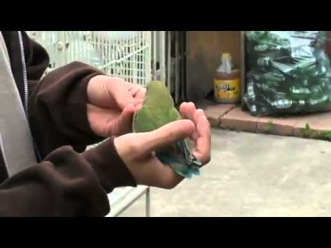 Lovebird outdoor recall training