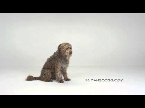 Labradoodle Sit Up - Noah's Dogs