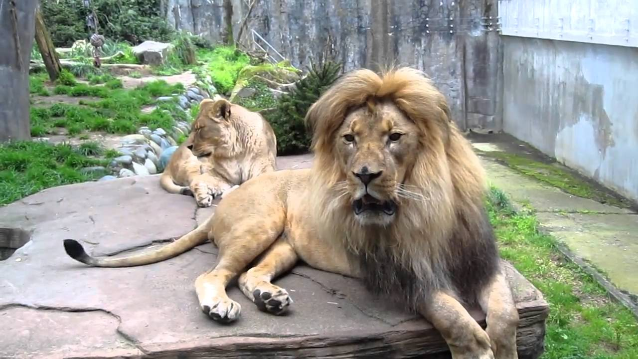 Face to face with a male lion - YouTube