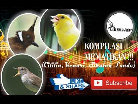 KOMPILASI MEMATIKAN !!! Cililin, Kenari, Sikatan Londo (Dengan Jeda & Suara Jernih)