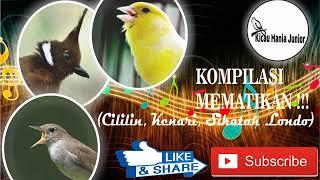 Download Mp3 Kompilasi Mematikan !!! Cililin, Kenari, Sikatan Londo  Dengan Jeda & Suara