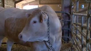 C'est la saison des foires aux bœufs gras en Aveyron