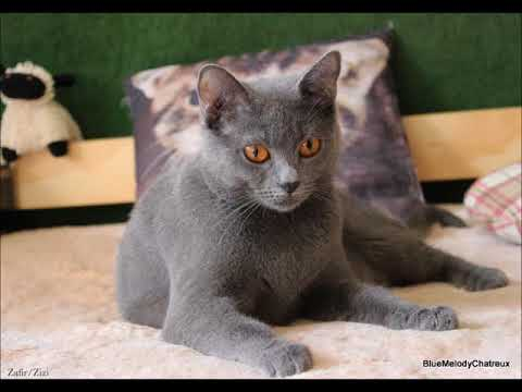 Blue Melody Chartreux Cats