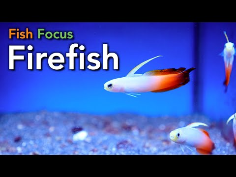 Fish Focus - Firefish