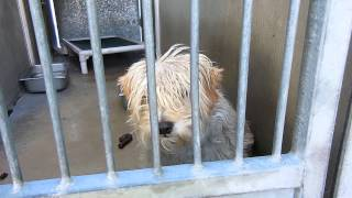 """""""dickie"""" A1339073 - N, 3 Yrs, Cairn Terrier, Euth Listed @ Orange County, Ca"""