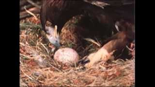 """Golden Eagle Raises Geese - an excerpt from the film """"Gifts of an Eagle"""""""