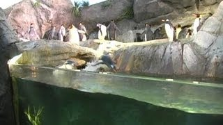 Synchronized swimming penguins at Saint Louis Zoo
