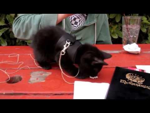 Leash-Trained Manx Cat Plays at McMenamin's II