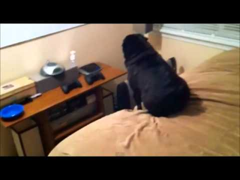 A Pug Dog Who Hates Iphones – Hilarious