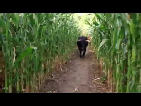 Download URBAN TARZAN - Trapped with a Bull in a Maze