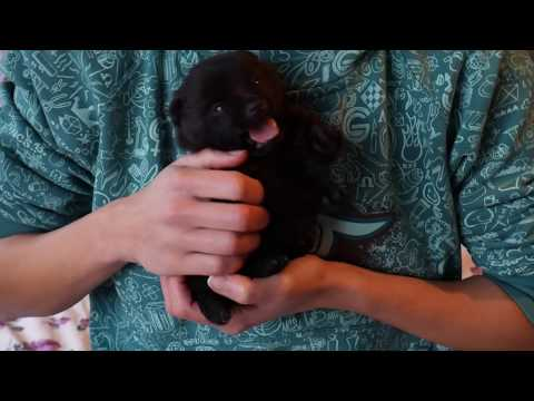 Schipperke puppy 17 days - blue boy