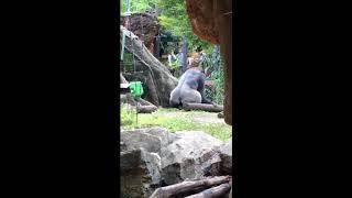 エッチをするゴリラ Gorilla to have sex