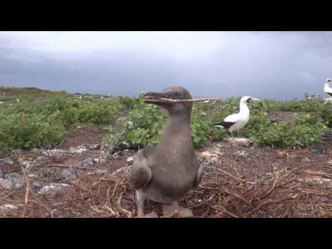 Juvenile red-footed booby playing catch