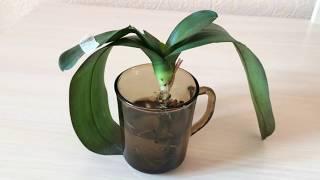Реанимация орхидеи в воде без корней. Наращивание корней в воде. Орхидея в воде.