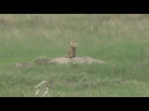 Prairie Dog Hunting In Fort Pierre, South Dakota