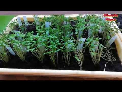 Как выглядит черная ножка томата? | триходерма | подготовка | русских | рассада | палочка | иванова | болезни | черная | сенная | семена